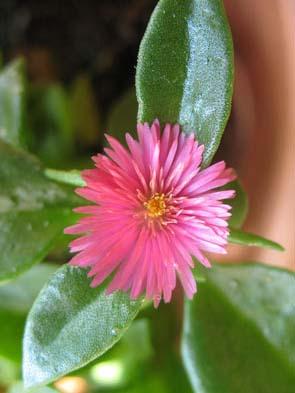 Eiskraut-Blüte