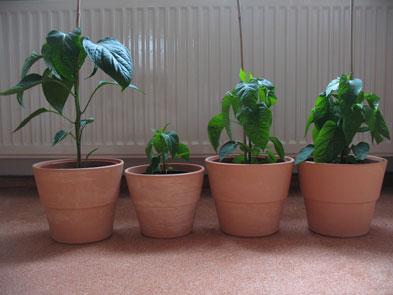noch relativ kleine Paprikapflanzen